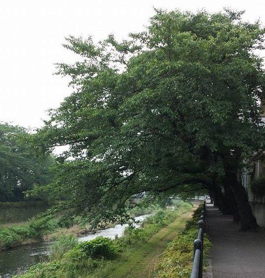こんな桜の巨木が野川沿いに100本以上あるでしょう。
