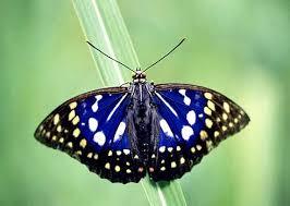 国蝶オオムラサキ(私が撮影した 羽化直後のビデオが見れます。) https://www.youtube.com/watch?v=FJtUC_79liU